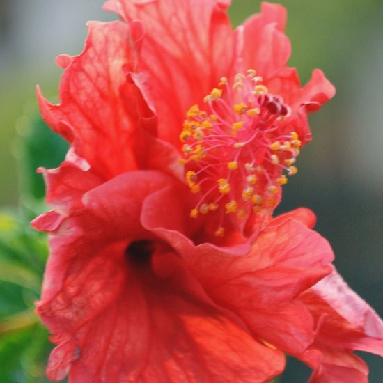 A red hibiscus that caught my attention Flower Nature Macro Red Beauty In Nature Tranquility Detail