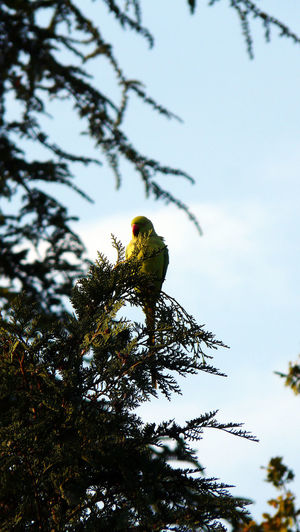 Green Color Perruche A Collier Perruche Petit Alexandre Psittacula Krameri Animals In The Wild Bird In The Wild Female Parakeet Low Angle View No People One Parakeet Parakeet Sittich Outdoor No People 16x9 16x9photography FreshonMarket Freshonmarket2017 In Oise