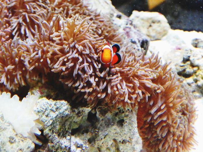 カクレクマノミ ニモ 沖縄 美ら海水族館