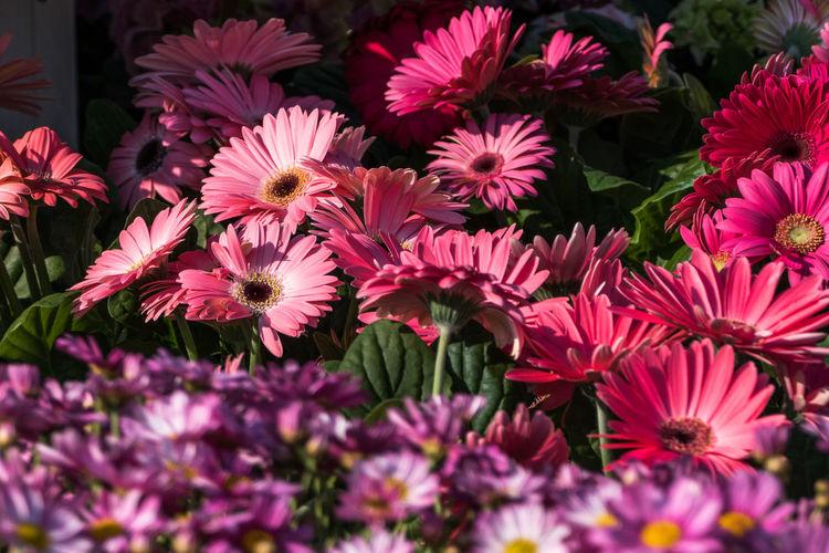 Pink gerbera daisies blooming outdoors