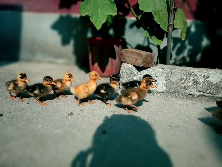 EyeEm Selects EyeEmNewHere Be. Ready. Close-up Day Outdoors Leaf No People Green Color Beauty In Nature Plant Young Animal Domestic Animals Ducklings Animal Themes Young Bird Walking Following Freshness Growth EyeEm Ready