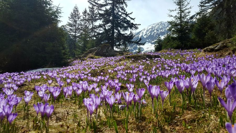 purple and mountains Flower Flower Head Tree Crocus Purple Field Close-up Plant Sky In Bloom