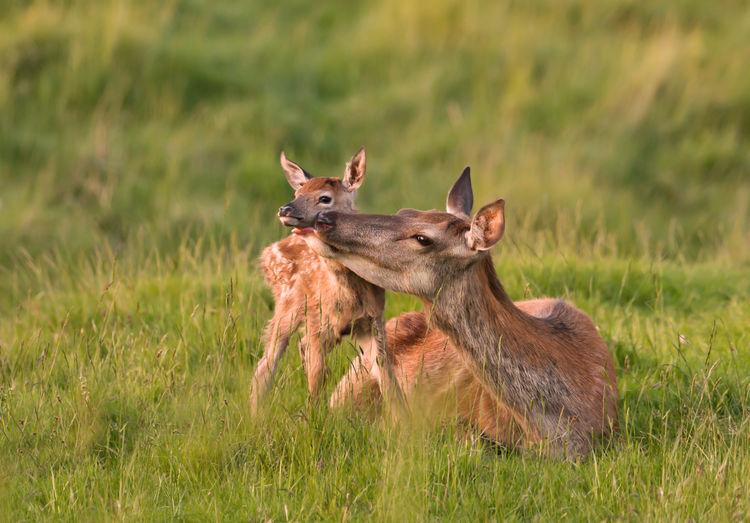 Deer licking fawn on grass