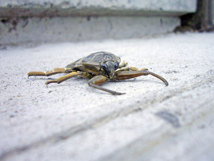 Giant Water Bug (Lethocerus americanus) on a Step. #02 Arthropod Etomology Animal Wildlife Animals In The Wild Arachnid Beetle Cement Close-up Concrete Day Entomology Insect Invertebrate Macro Nature No People One Animal Outdoors Selective Focus Step Surface Level Wall Zoology