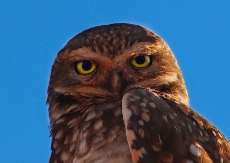 Owl at dawn with blue sky