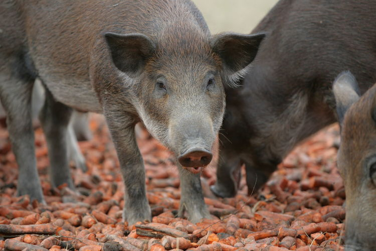 Close-up of wild boars eating food
