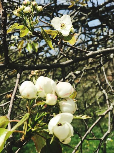 Plant Growth Flower Flowering Plant Beauty In Nature Freshness Tree White Color Fragility Vulnerability  Close-up No People Focus On Foreground Nature Low Angle View Petal Day Branch Blossom Plant Part