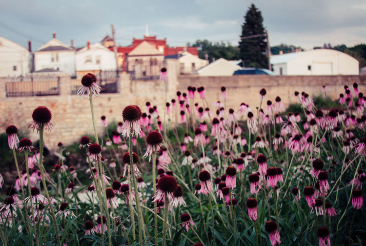 Close-up of coneflowers on field against buildings