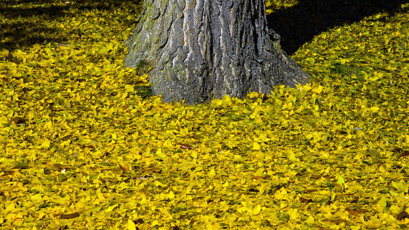 A sea of yellow appeared after an overnight frost... Beauty In Nature Close-up Day Fragility Nature No People Outdoors Tranquility Tree Tree Trunk Yellow EyeEmNewHere