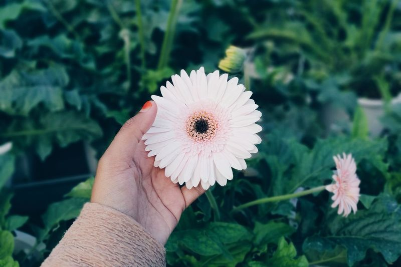 hand holding beautiful white daisy in a garden Garden Garden Photography Daisy Flower Collection Pastel Nature Background Nature View Holding Flower Nature Plant Flower Head Close-up