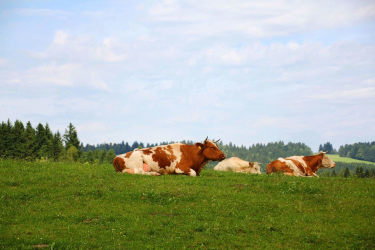 Animal Domestic Animals Cloud - Sky Sky Nature No People Grass Landscape Nature Collection Cow Animals In The Wild Clouds