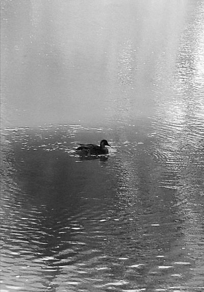 Duck on the water.Water Animal Wildlife Nature Animals In The Wild No People Animal Themes Swimming One Animal Mammal Sea Day Outdoors Beauty In Nature Sky The Week On EyeEm Mood Capture Mood Capture The Moment Light And Shadow Black And White Friday Town Basin Whangarei In New Zealand