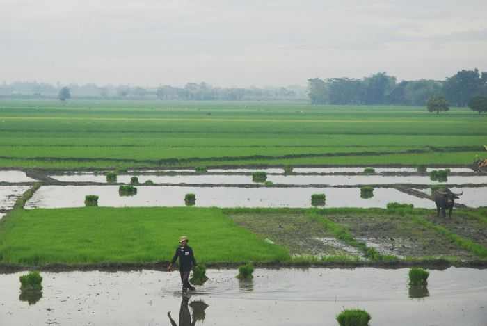 Rural Scene Agriculture Farm Growth Field Nature Rice Paddy Water Beauty In Nature Outdoors