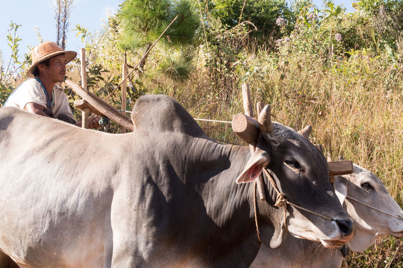 Agriculture Animal Themes Burma Cows Day Domestic Animals Farming Kalaw To Inle Lake Livestock Myanmar Nature One Person Outdoors Ox Cart People Rural Transportation Trek Kalaw-inle