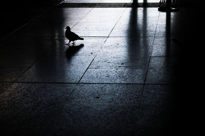 Reflection Roma Roma Italia Volatile Ambientazione Interna Animal Themes Animali Autunno  Bird Centro Storico Di Roma Colomba Indoors  Italy No People Novembre Novembre 2015 Piccione Riflessi Roma Termini Shadow Silhouette Tiled Floor Walking