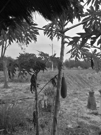 papaya Tree Oil