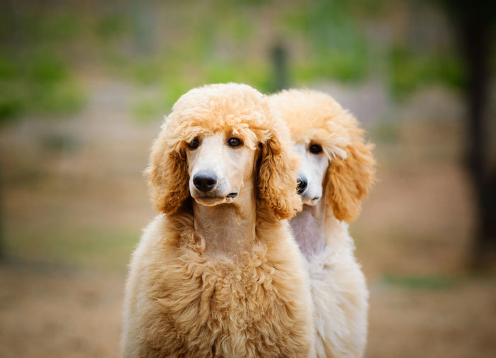Dog Canine Pets Portrait No People Domestic Animals Day Poodle Standard Poodle Dogs Outdoors Animal Themes Animal Standard Cute Innocence Young Animal Looking At Camera Puppy Apricot Side By Side