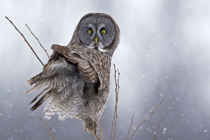 Portrait Of Owl Perching On Plant During Snowfall