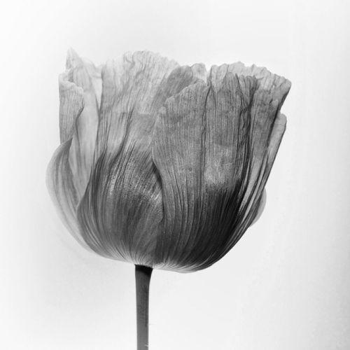 Poppy Blackandwhite Macro Flowers Getting Inspired Taking Photos Monochrome Just White EyeEm Best Shots - Flowers B&w