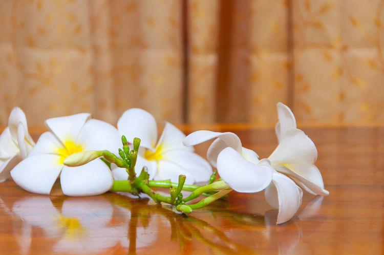 Beauty of White Plumeria Pudica flora Beauty In Nature Close-up Day Floral Flower Flower Head Food Fragility Freshness Indoors  Nature No People Petal Plumeria Plumeria Blossoms Plumeria Flowers Table White White Color White Flower White Flowers