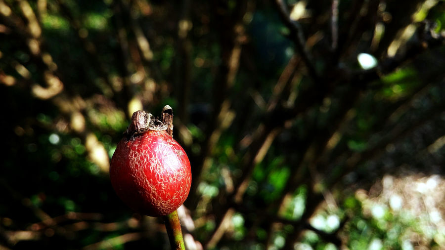 Rose hip Close-up Focus On Foreground Fruit Growth Nature No People Outdoors Plant Red Ripe Rose Hip Rosé Selective Focus