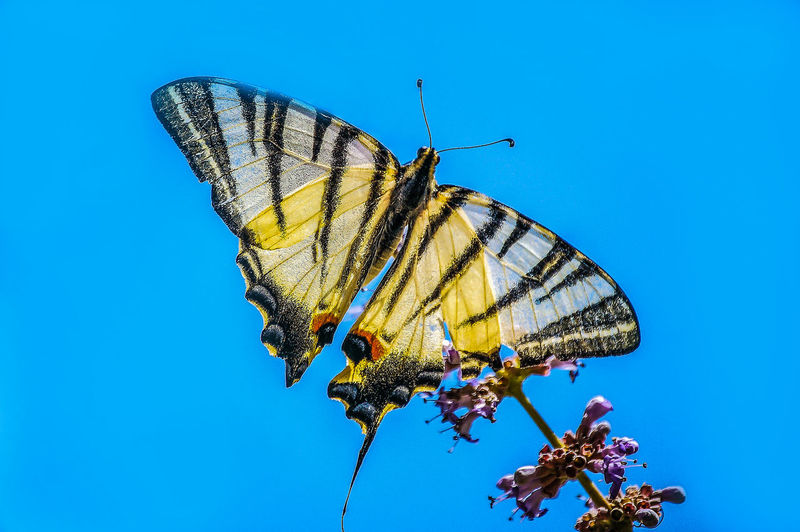 Schwalbenschwanz auf Lavendel Best Tiere Hofi Best Shots Hofi Hofis Premium Collection Blue Sky Lavendel Schmetterling EyeEm Selects Perching Spread Wings Butterfly - Insect Blue Flower Insect Conformity Summer Animal Wing Close-up Butterfly Invertebrate