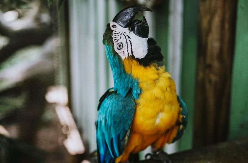 Macaw Bird Gold And Blue Macaw Parrot Perching Multi Colored Tropical Bird