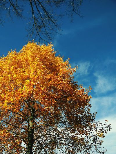 Tree Yellow Beauty In Nature Sky Leaf Autumn Color Autumn Oneplustwo Blue Sky Nice Weather A moment of inspiration