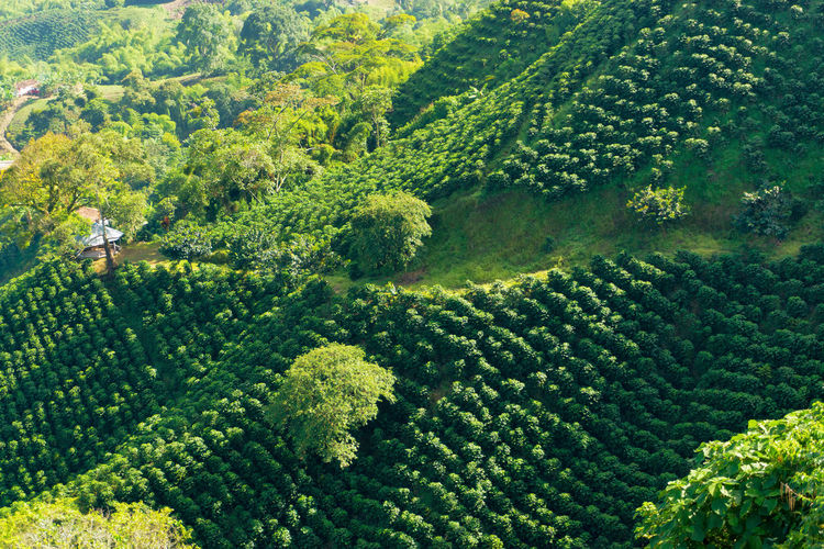 Scenic view of coffee farm on hill