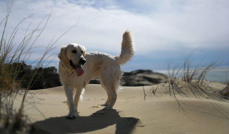 EyeEm Selects Pyla Dune Du Pyla Chien Dog Goldenretriever Blue Sky Sable Portrait