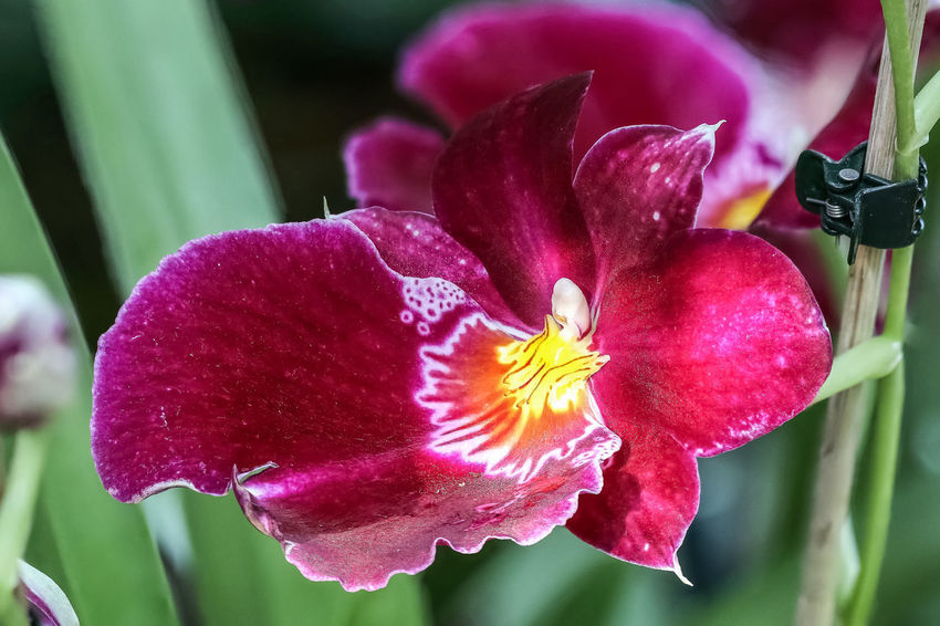 Miltonia Orchidee Blumen Blütenpracht Cymbidieae Epidendroideae Miltonia Orchidee Oncidiinae Orchid Orchid Blossoms Orchids Pflanzenwelt Stiefmütterchenorchidee Beauty In Nature Blumenfotografie Blumenpracht🌺🍃 Blüte Blütenschönheit Blütenzauber Miltonia Miltonia Orchid Orchid Flower Orchidee Orchideen Pflanzen Plants And Flowers