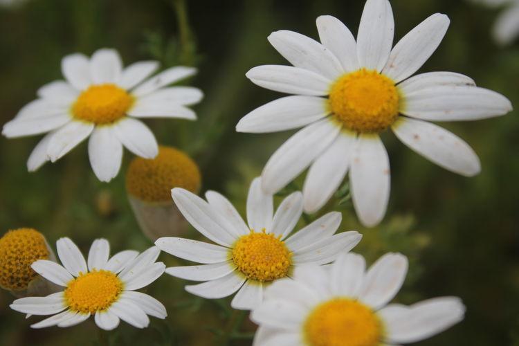 Canon 1100d Macro #NoEdit #NoFilter Nature Perfectnature Black Background Daisy Plant Life