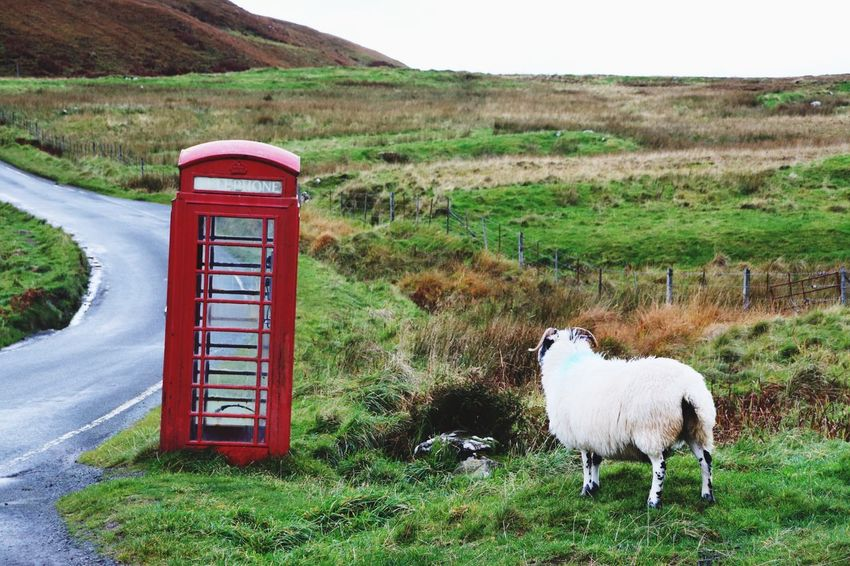 Grass Day Red Outdoors No People Animal Themes Nature Landscape Scenics Domestic Animals Mammal Sheep Schaf  Telephone Box Be. Ready.