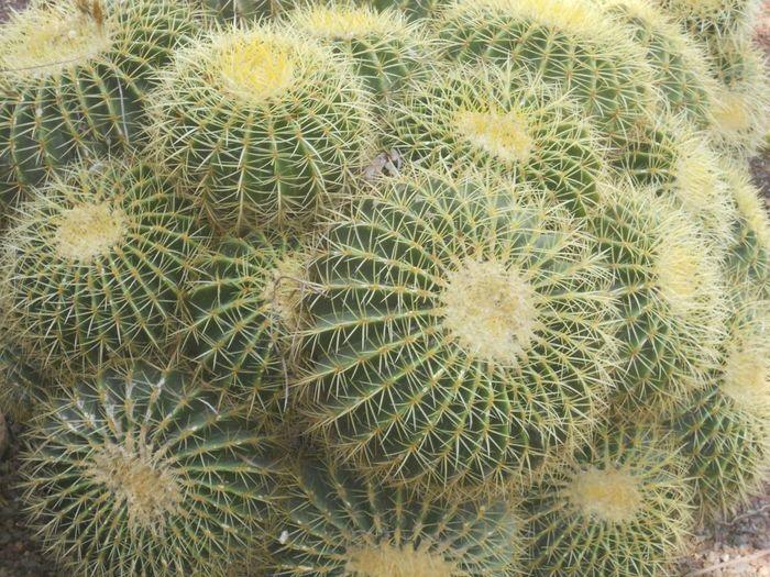 Close-up of barrel cactuses