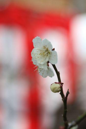 梅桜祭 Growth Flower Close-up Nature Freshness Fragility White Color Beauty In Nature Twig No People Blossom Springtime Plum Blossom Branch Outdoors Flower Head Day