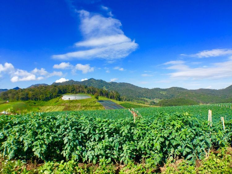 Agriculture Beauty In Nature Blue Cloud - Sky Crop  Day Farm Field Freshness Green Color Growth Landscape Mountain Mountain Range Nature No People Outdoors Rural Scene Scenics Sky Tea Crop Tranquil Scene Tranquility Vineyard