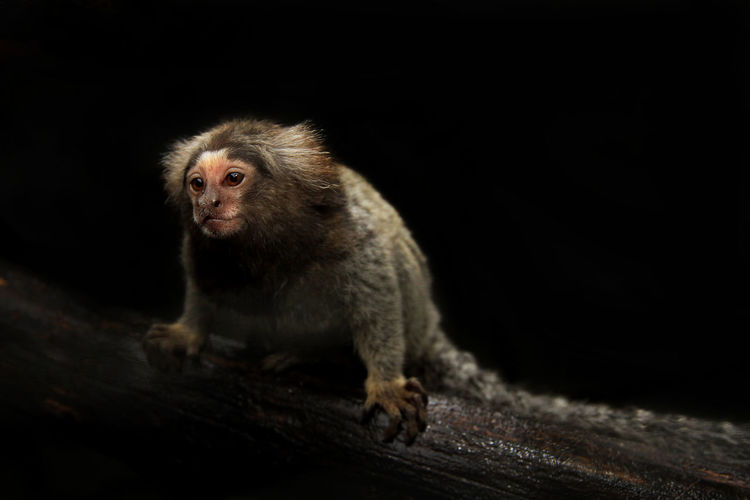 Monkey looking away while sitting on branch against black background