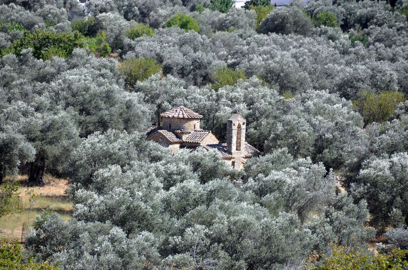 High angle view of chapel amidst olive trees
