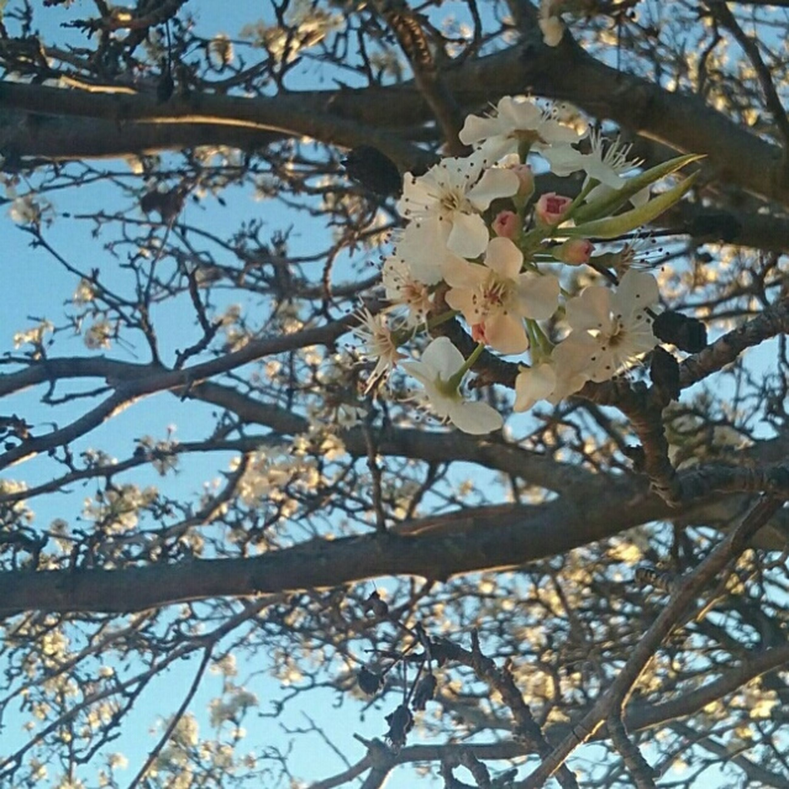 tree, nature, growth, blossom, beauty in nature, branch, low angle view, springtime, flower, no people, close-up, outdoors, almond tree, day, plum blossom, sky, flower head