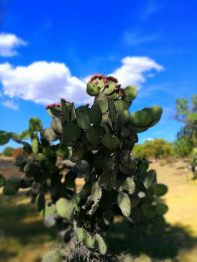 Nopal en Teotihuacan Nature Plant Cactus No People Outdoors First Eyeem Photo