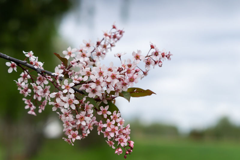 Flower Flowering Plant Plant Fragility Vulnerability  Growth Beauty In Nature Freshness Petal Close-up Focus On Foreground Nature Pink Color Day Tree Flower Head Blossom Inflorescence Springtime No People Outdoors Cherry Blossom Cherry Tree Bunch Of Flowers
