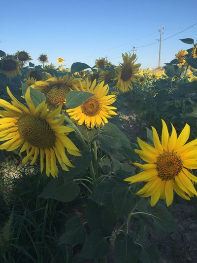 Great Flora Flower Collection sunflowers 43 Golden Moments,