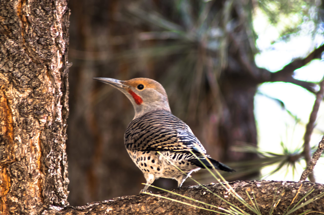 one animal, animal themes, animals in the wild, bird, animal wildlife, focus on foreground, perching, woodpecker, nature, day, no people, tree trunk, tree, close-up, outdoors, beauty in nature, branch