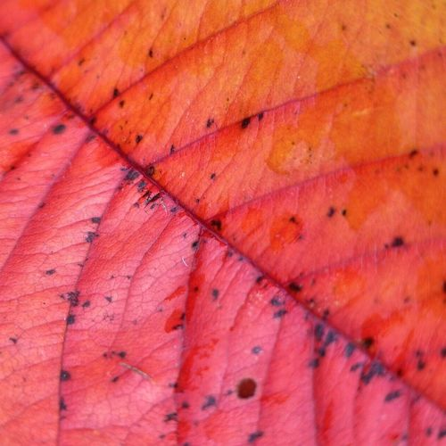 Autumn leaves EyeEm Gallery Nature_collection EyeEm Best Shots EyeEmNewHere Naturelovers Nature Photography Australia No People Beauty In Nature Autumn colors Nature Backgrounds Red Leaf Full Frame Multi Colored Saturated Color Abstract Pink Color Autumn Close-up Leaf Vein Maple Leaf Natural Pattern Leaves Fallen Fall