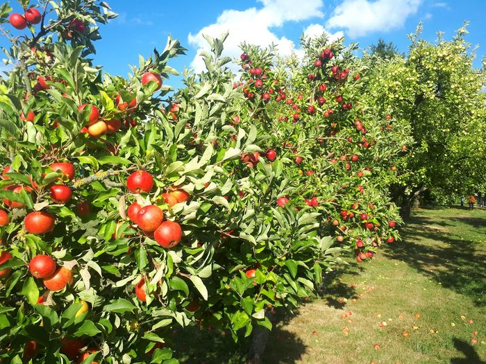 appletrees at countryside garden Green Blue Sky Mecklenburg-Vorpommern Vellahn ARTfoxHH Sonnig Sunny Weather Garden Tree Fruit Red Sunlight Sky Close-up Food And Drink Cloud - Sky Green Color Growing Apple Blossom Apple Tree Young Plant Apple EyeEmNewHere