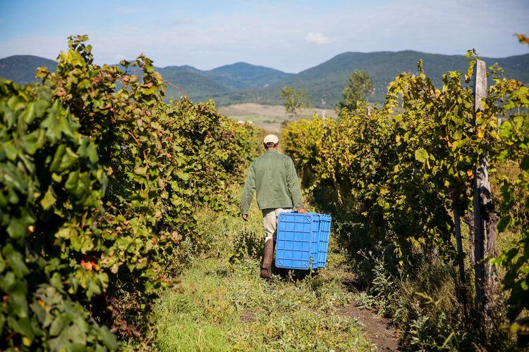 Rear view of farmer carrying crates at vineyard