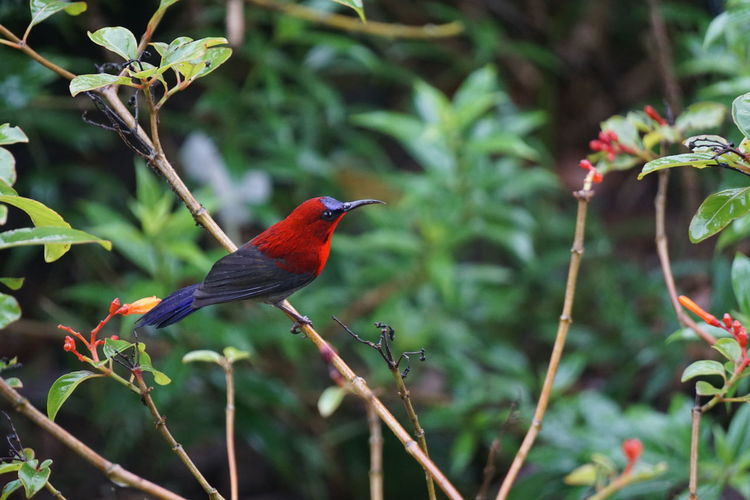 Bird Vertebrate Animal Wildlife Animal Themes Animals In The Wild Animal One Animal Perching Plant Focus On Foreground No People Day Beauty In Nature Growth Tree Branch Nature Red Green Color Outdoors