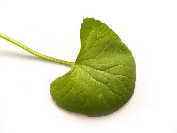 Asiatic Pennywort Herb Beauty Centella Asiatica Close-up Cut Out Day Evergreen Foliage Food Freshness Green Color Leaf Leaves Nature No People Studio Shot Vegetable White Background