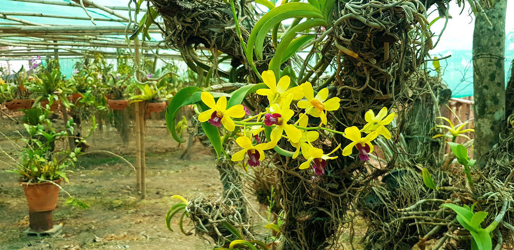 Close-up of yellow flowering plants in greenhouse