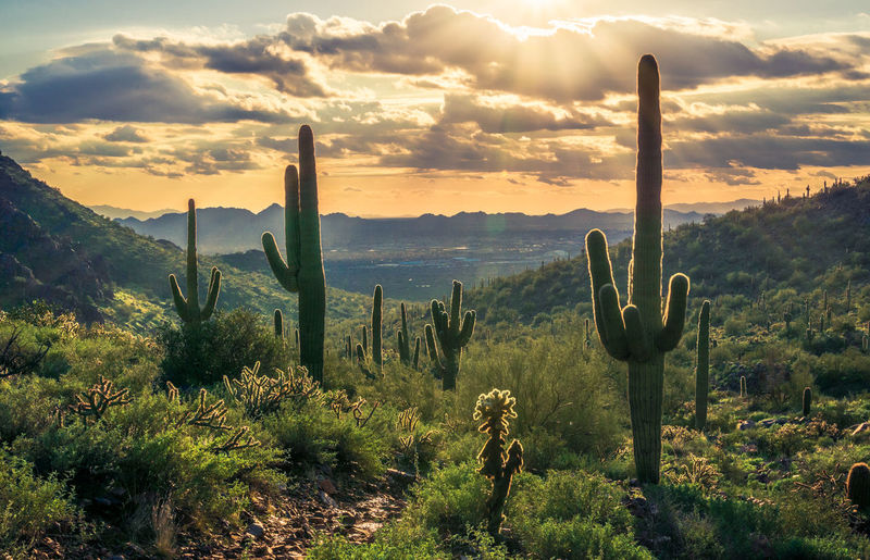Saguaro cactus growing on valley against sky